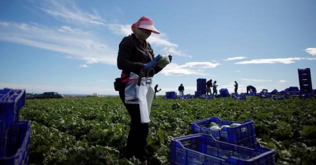 A worker wraps an iceberg lettuce at a lettuce plantation in Pulpi, near Almeria, southeast Spain February 13, 2017. Picture taken February 13, 2017. REUTERS/Jon Nazca