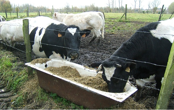 Cattle_eating_corn_silage.jpg