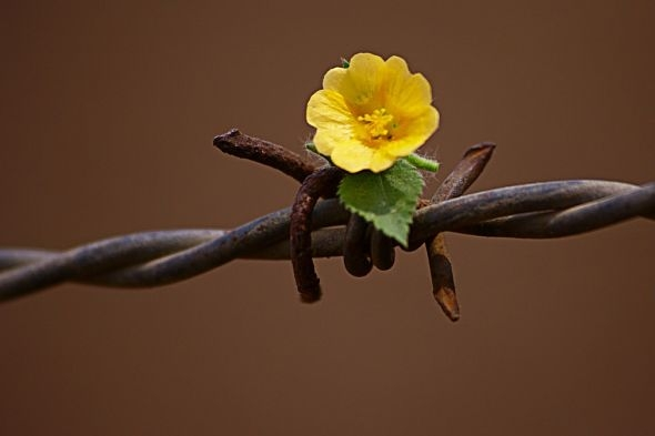 barbed wire and flower