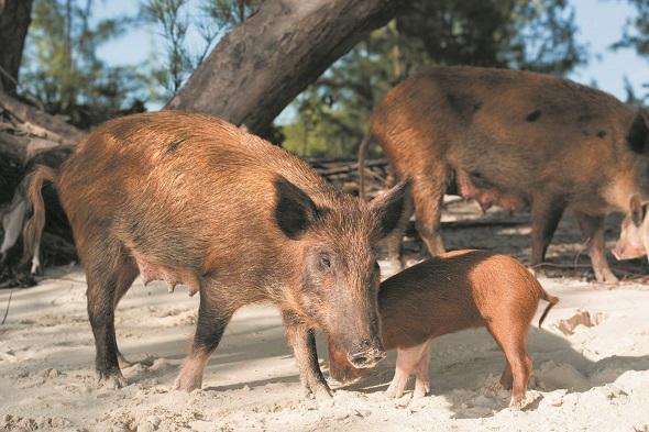 pigs-590.jpg