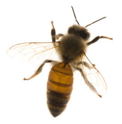 A photo of a bee.