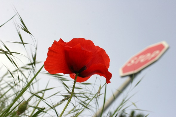 Stop sign and poppy [Related Image]