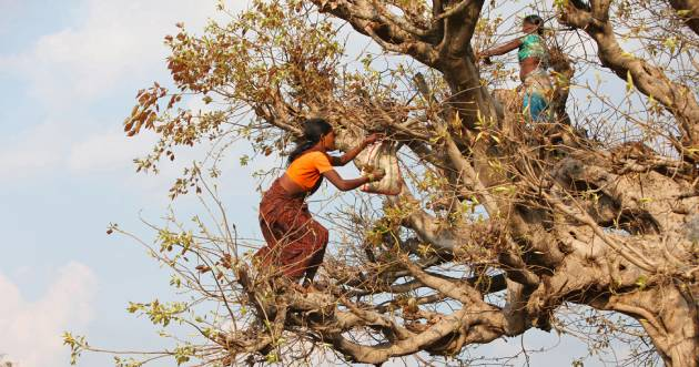 Baiga women in Madhya Pradesh, India collecting leaves. Credit: ephotocorp.