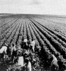 Mexican farmworkers lost in a sea of celery.
