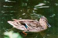 Female Mallard risks her life for seduction.