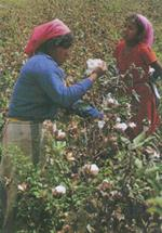 Traditional cotton-pickers from Peru.