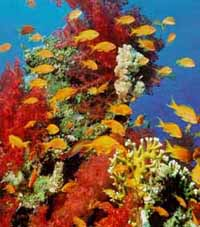 Endangered phantasmagoria - coral in the Red Sea