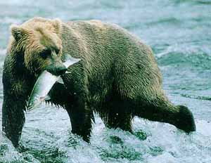 Lunch is served: a non-Disney grizzly hunts salmon in Alaska's Katmai National Park.