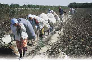 Heavy burden: the cotton fields here in Uzbekistan have been sprayed with a defoliant. Many workers give birth to deformed babies.
