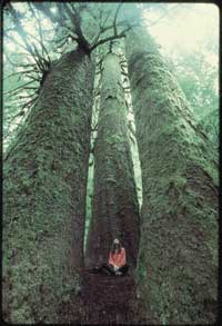 No teddy bears, no picnic: escaping the ratrace, dwarfed by giant Sitka spruce in British Columbia's Carmanah Valley.