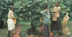 Export or die: hungry children pick coffee in Kenya.