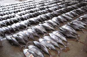 'Mining' the oceans: lines of tuna waiting to be sold in Katsura Harbour, Japan.