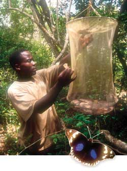 Farmers hatching butterfly eggs – and an income – from the Arabuko-Sokoke forest in Kenya.