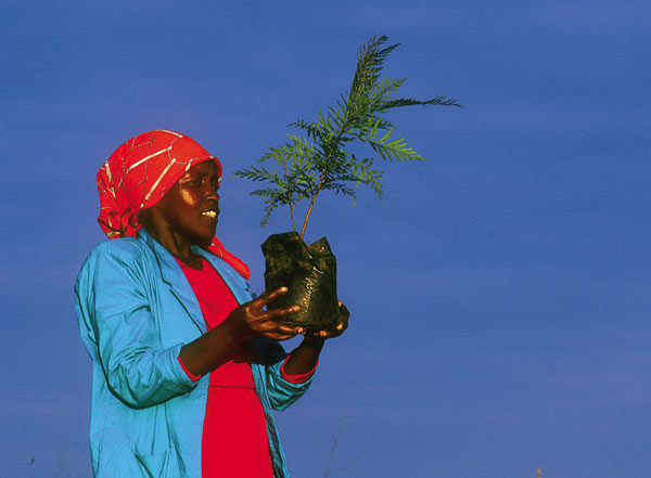 Woman with tree seedling, Kenya The Green Belt Movement in Kenya encourages women to plant tree seedlings to avert desertification, and also to grow indigenous drought-resistant food crops such as millet. Photo: William Campbell / Still Pictures