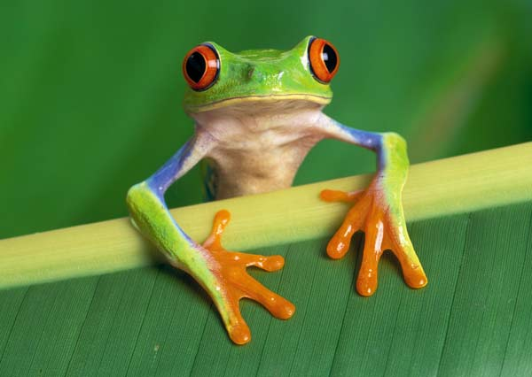 Red-eyed tree frog Tree frogs are found on every continent except Antarctica; the red-eyed variety, Agalychnis callidryas, lives in the forests of Central America. Photo: Klein / Still Pictures