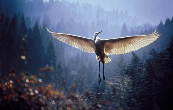 Egret, Japan As many as 12 per cent of the world's birds are now threatened with extinction, mainly from loss of habitat. We have, for example, already lost the Atilan and Colombian Grebes, the Wake Island Rail and the Canary Islands Oystercatcher. Photo: R Kawakami / UNEP / Still Pictures