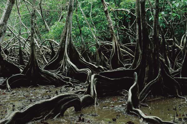 Tree roots, French Guiana The northern coast of South America has important forests and the Orinoco-Amazon mangroves and coastal swamps. The region is an ideal resting place for migratory birds such as scarlet ibises, herons, frigatebirds and greater flamingos. Photo: Fred Hoogervorst / Panos