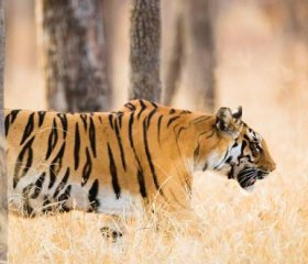 A majestic Indian tiger on the prowl. India's tiger numbers are up – to roughly 3,000 from fewer than 2,000 in 1970 – as a result of a massive conservation effort. But it has also forcibly displaced many tribal peoples, who had lived sucessfully with the animals, from their ancestral lands. PANORAMIC IMAGES/ALAMY