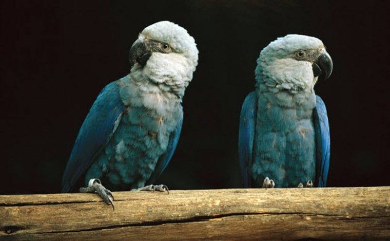 Spix's Macaw, the starring bird of the hit film 'Rio' was reported as officially extinct this week. Credit: Etna 1984, CC 4.0