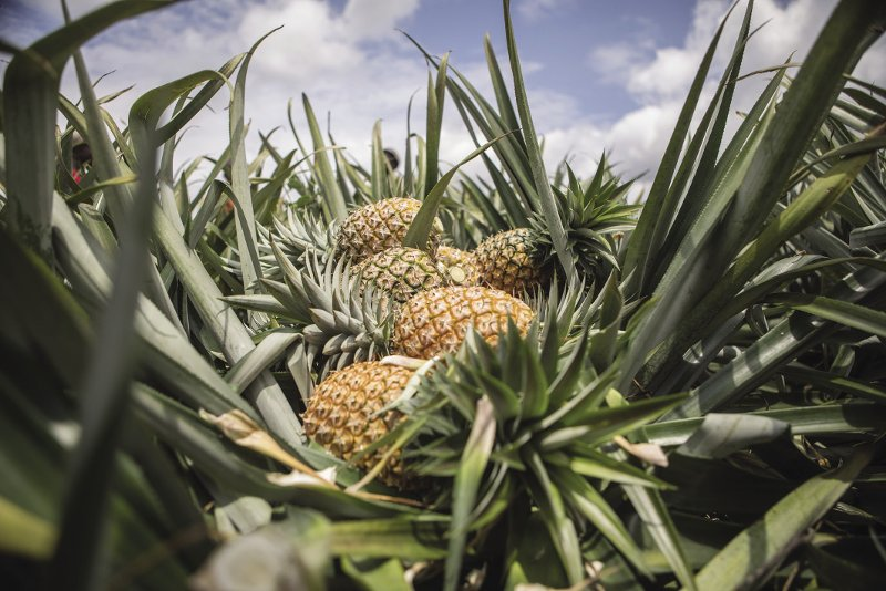 BENIN  Back by spiky demand: freshly cut, gold-fleshed Cayenne pineapples take centre stage in a field in Soyo, Benin. In December 2016, Benin's government rolled  out a self-imposed ban on all pineapple exports to international clientele after repeated warnings from the European Union that – despite being Africa's fourth-largest exporter of the fruit – Benin pineapples contained 'unsafe' levels of ethephon. The pesticide is commonly used to speed up ripening – or the appearance of ripening. After eight months of training programmes and mass testing, farmers in Benin were given the green light, but resumption of trading has been slow. Photo: Yanick Folly/AFP/Getty