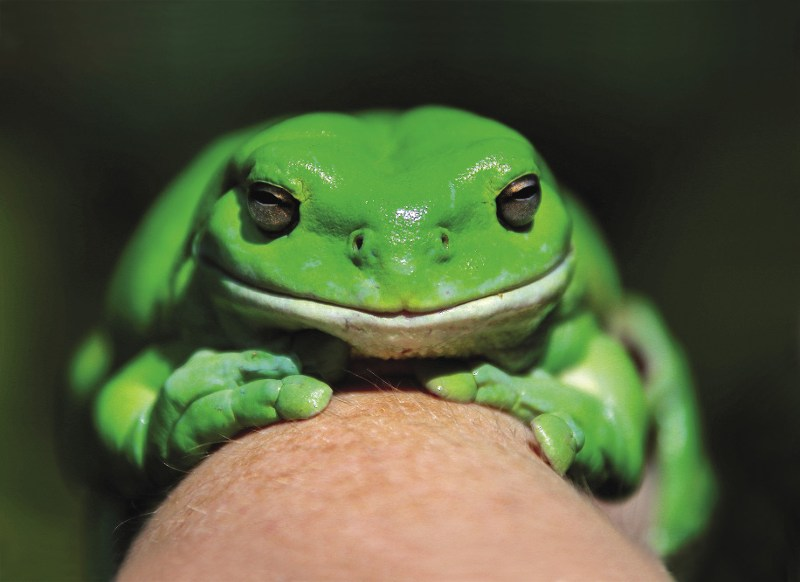 AUSTRALIA  An Australian green tree frog, named Godzilla, nestles on the hand of a member of the Frog and Toad Study Group during the launch of the Australian Museum's national frog counting phone app 'FrogID' in Sydney. The Museum and computer giant IBM say they have developed the world's first smartphone app designed to let users non-intrusively record and report frog  calls, croaks and chirps. Frog populations are in decline around the world and Australia's frogs are especially vulnerable. According to the country's Department  of Environment and Energy, this is due to a toxic mix of climate change, pollution, newly introduced species and urban development. Photo: David Gray/Reuters