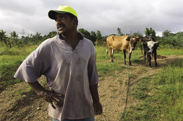 Fiji profile: Ape Maleki, a farmer from the village of Vunaniu, tending his cattle.