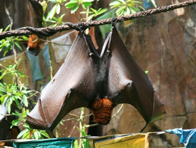 Fruit bats of the Pteropodidae family are thought to be natural hosts of the Ebola virus.